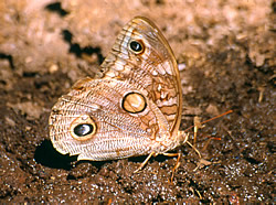 Female Owl butterfly
