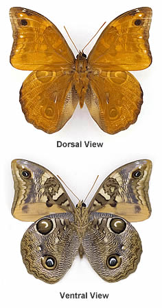 Owl butterflies, front and back