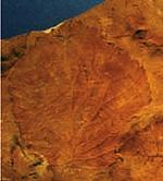fossil Davidia