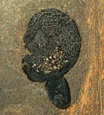 fossil cashew