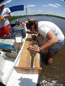 Alicia LaPorte measures sawfish