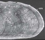 image of 374 year old ocean quahog