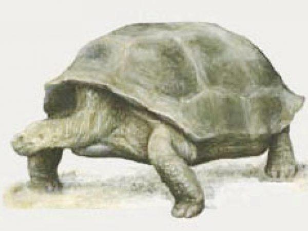 Fossil tortoise image