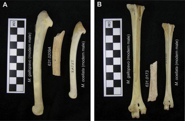 Turkey Bones