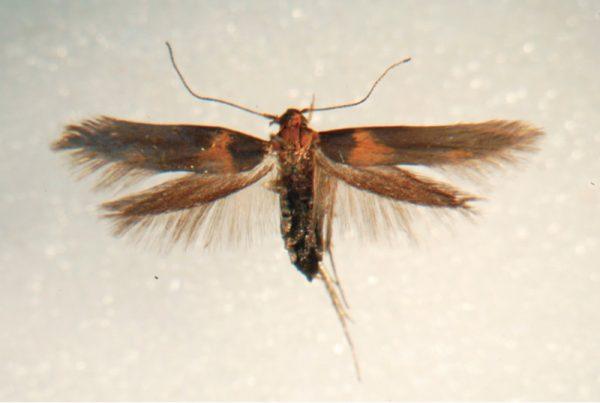 hyposmocoma moth