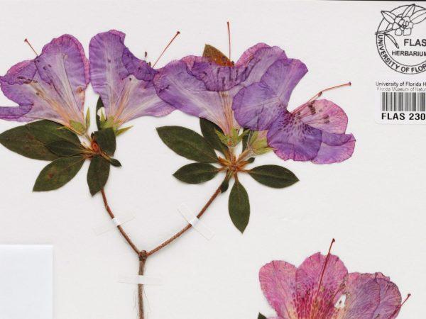 pressed flower specimen