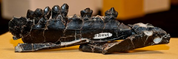 Lower jaw of Aguascalietia panamaensis