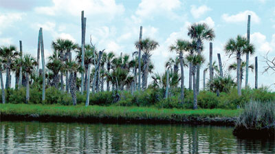 cabbage palms along intercoastal waters
