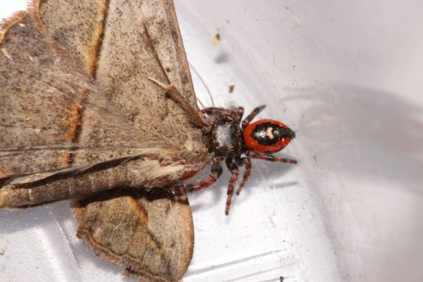 spider feeding on moth