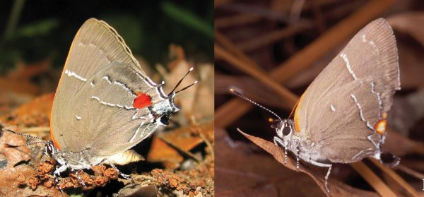White M hairstreak, Parrhasius m-album