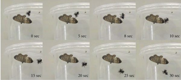 jumping spider attacking moth
