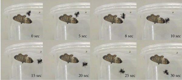 jumping spider attacking moth
