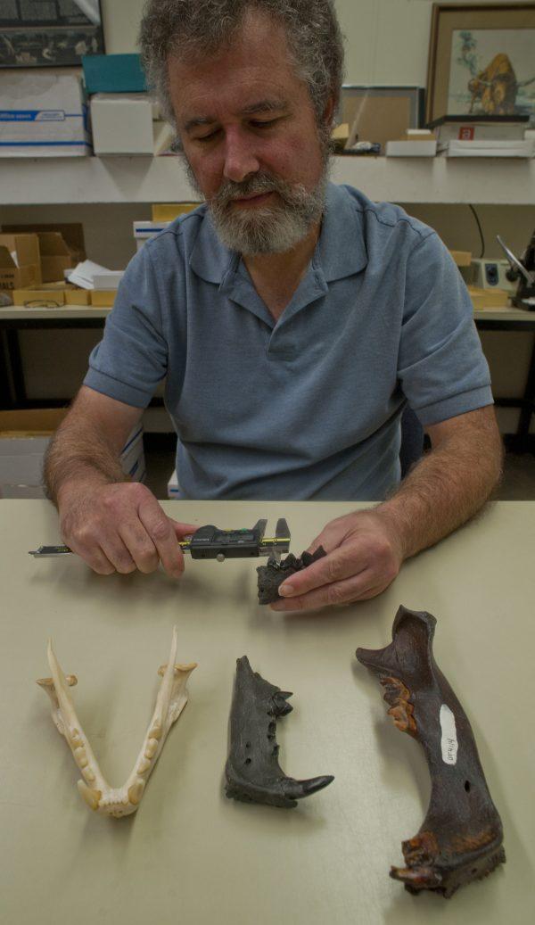 Richard Hulbert Jr. measures saber-toothed cat teeth