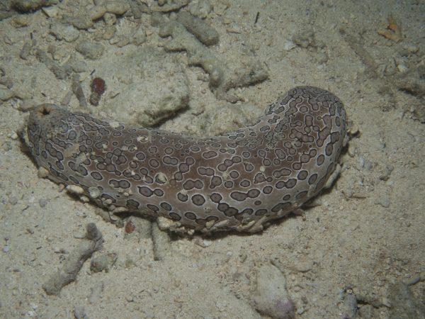 Sea cucumber, Bohadschia argus