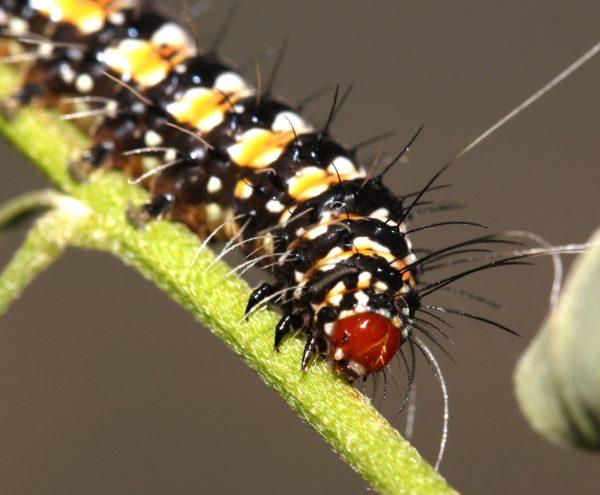 Bella moth larva