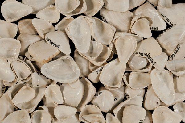 Donax trueloides shells