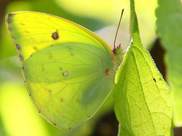 Pink-spot Sulphur butterfly