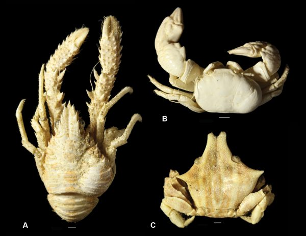modern isopod-infested decapods