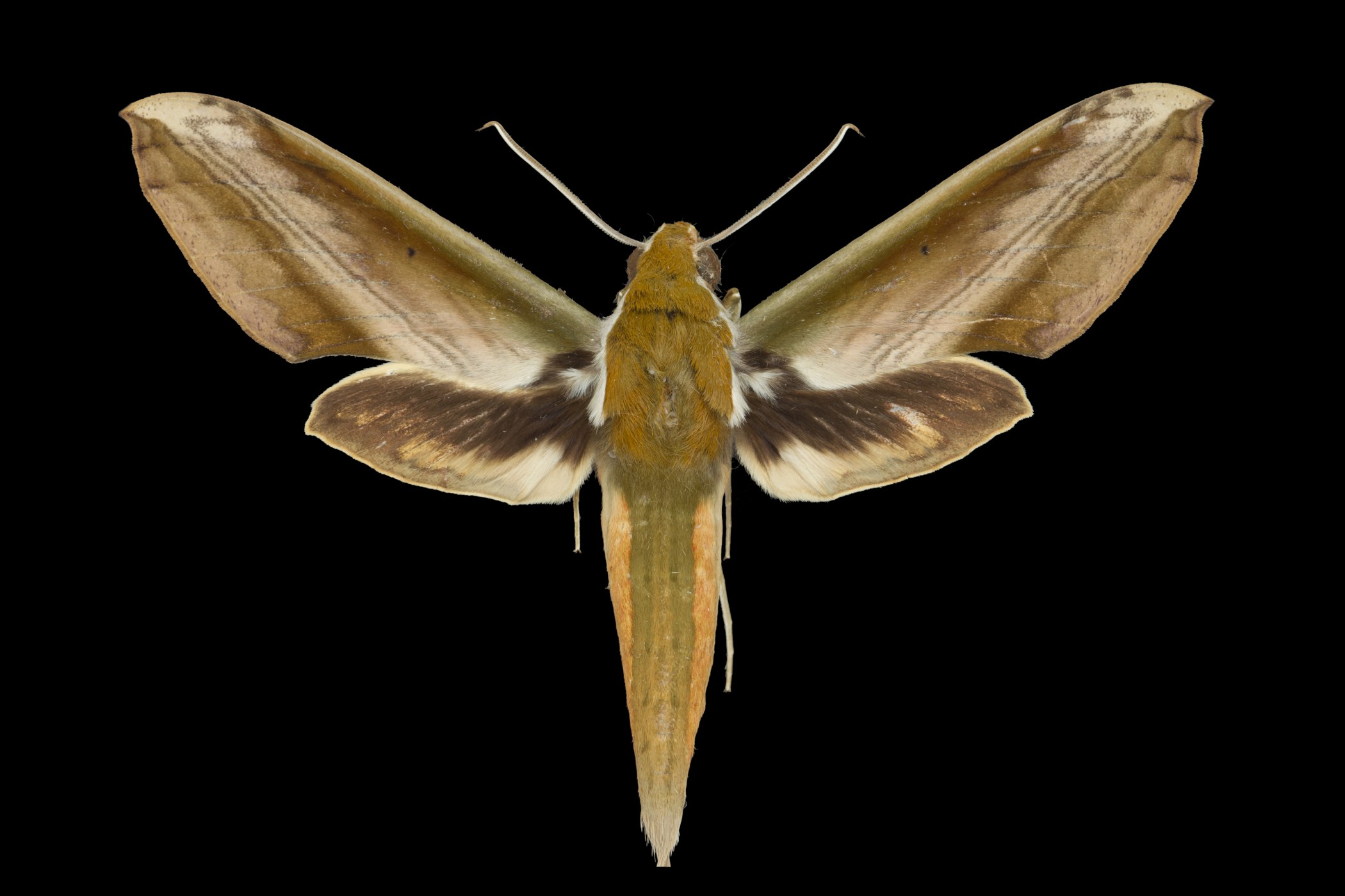 Study shows hawkmoths use ultrasound to combat bats