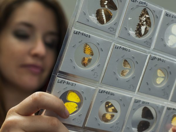 researcher comparing butterfly wings