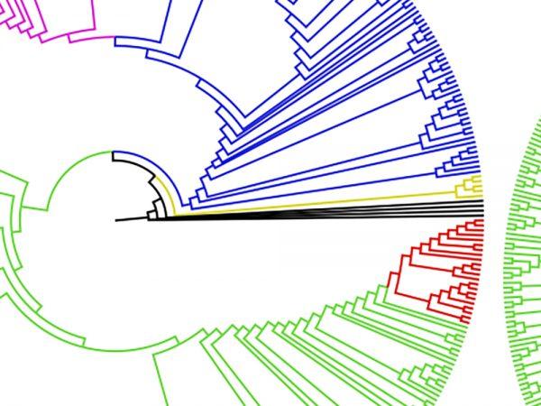 Campanulaceae clade diagram