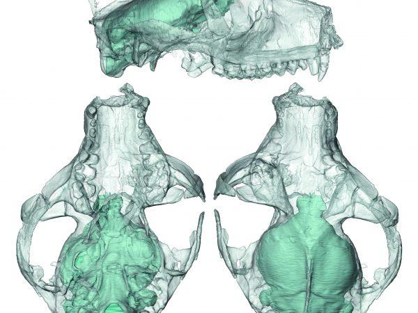 translucent skulls