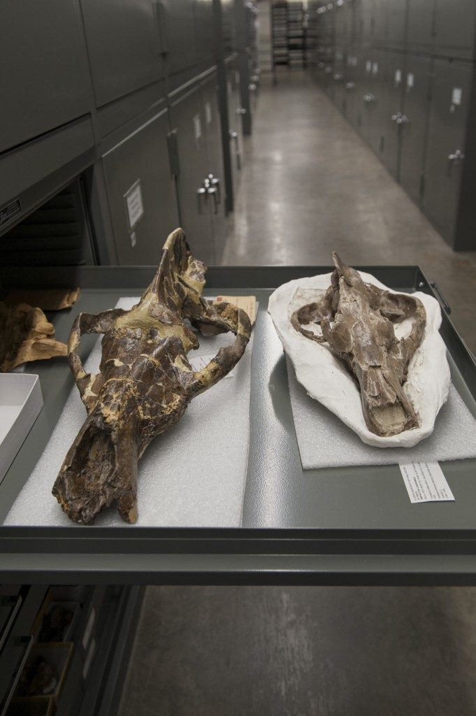 two skulls in the paleontology collection