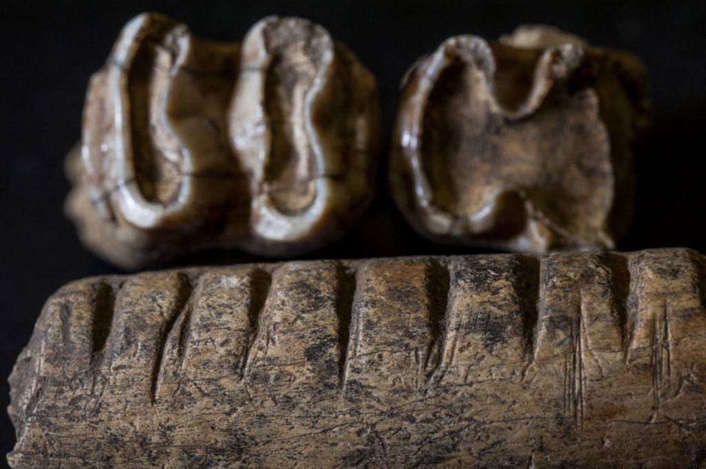 cut jawbone and teeth of a tapir