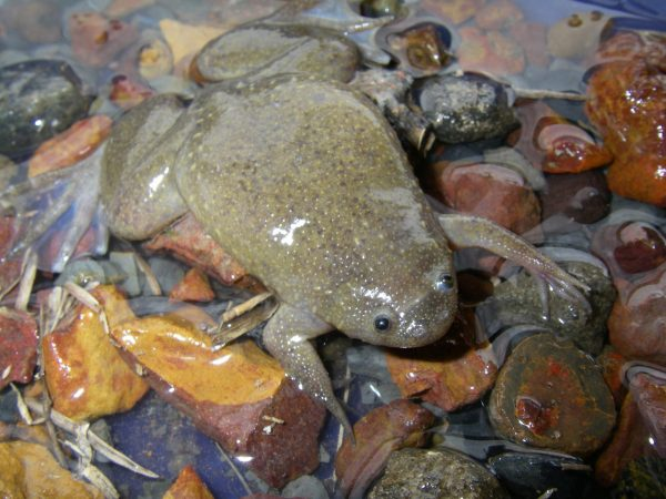 flat frog in creek bed