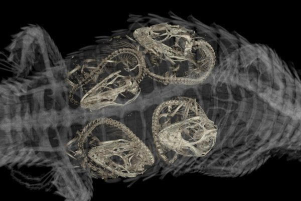 embryos in tropical girdled lizard