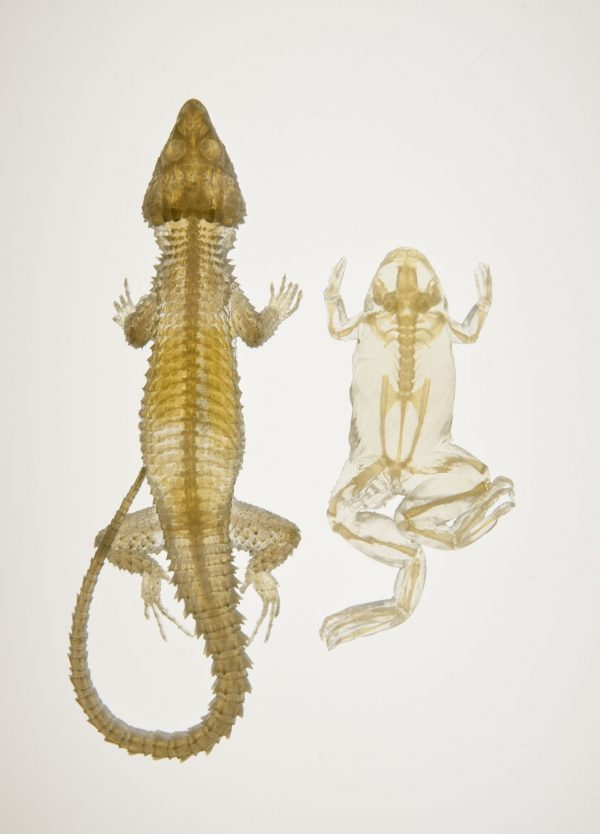 Lizard and frog 3-D printed images