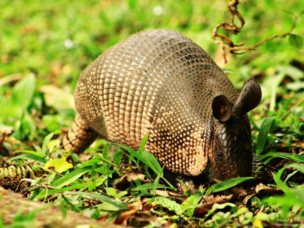 An armadillo in the grass