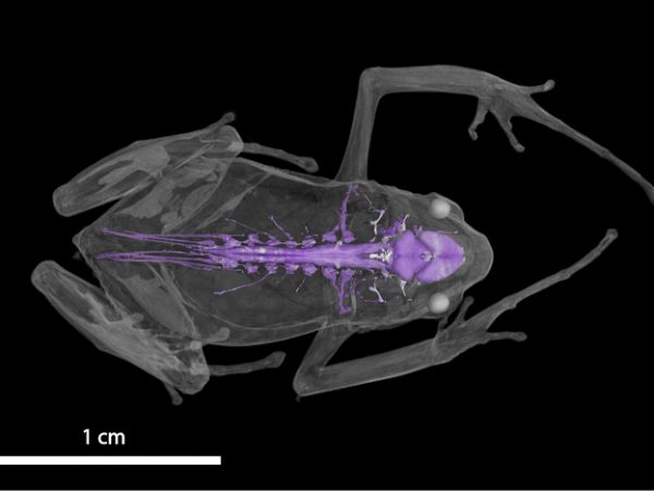 frog nervous system highlighted in purple