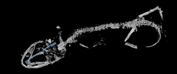 micro-CT scan of fossil chameleon