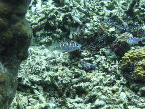 chalk bass near a reef