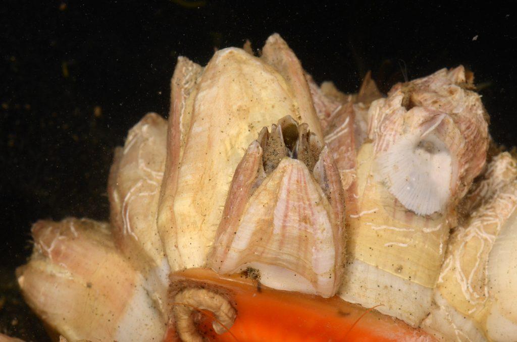 Balanus and Megabalanus barnacles