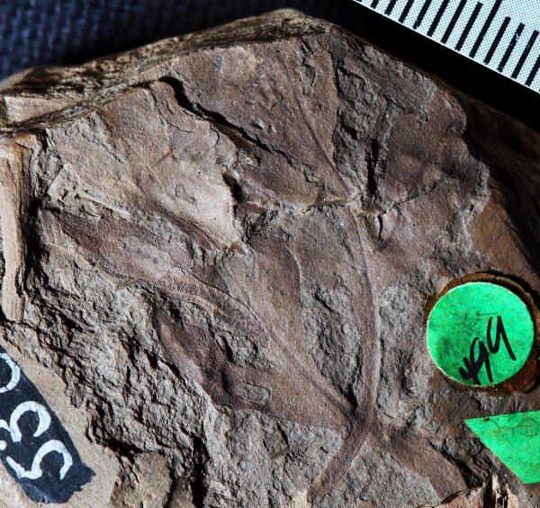 vernifolium tenuiloba fossil