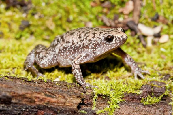 Eastern narrow-mouth toad