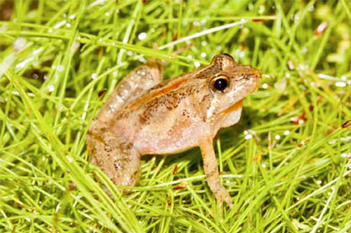 Southern cricket frog