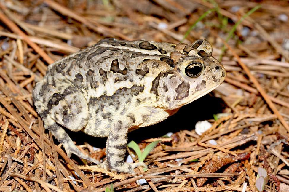Southern Toad (Bufo terrestris/ Anaxyrus terrestris)