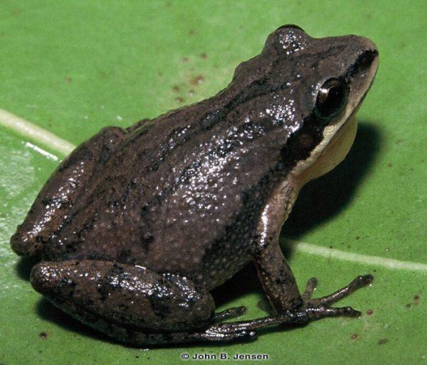 Upland Chorus Frog (Pseudacris feriarum)