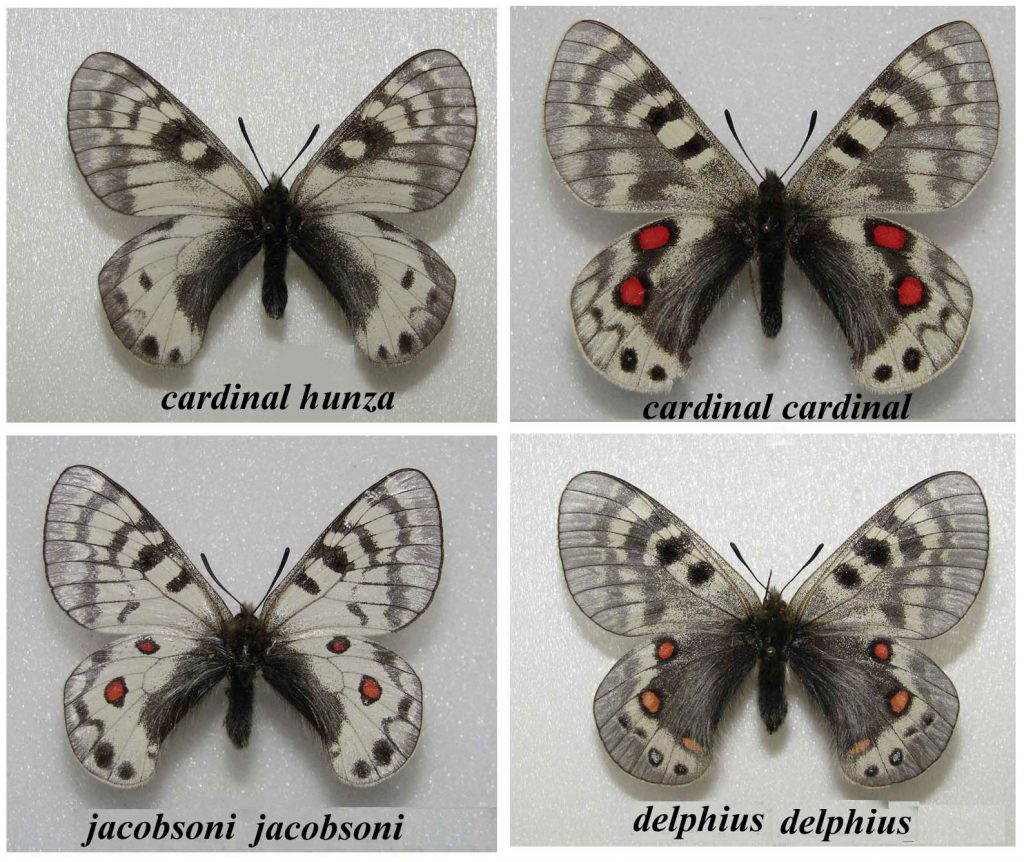 four similar-looking white and gray butterflies