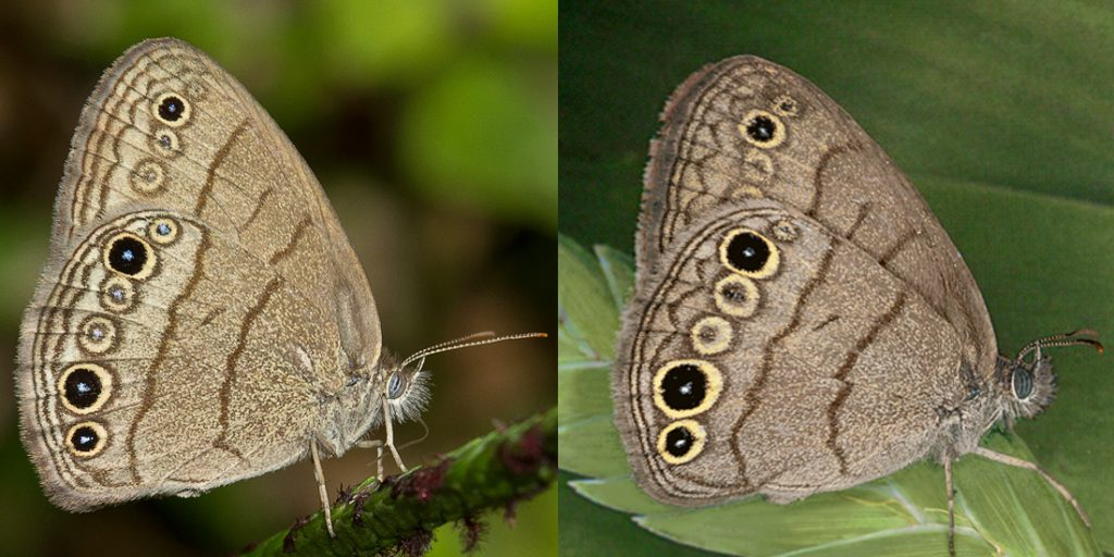 two similar-looking brown butterflies