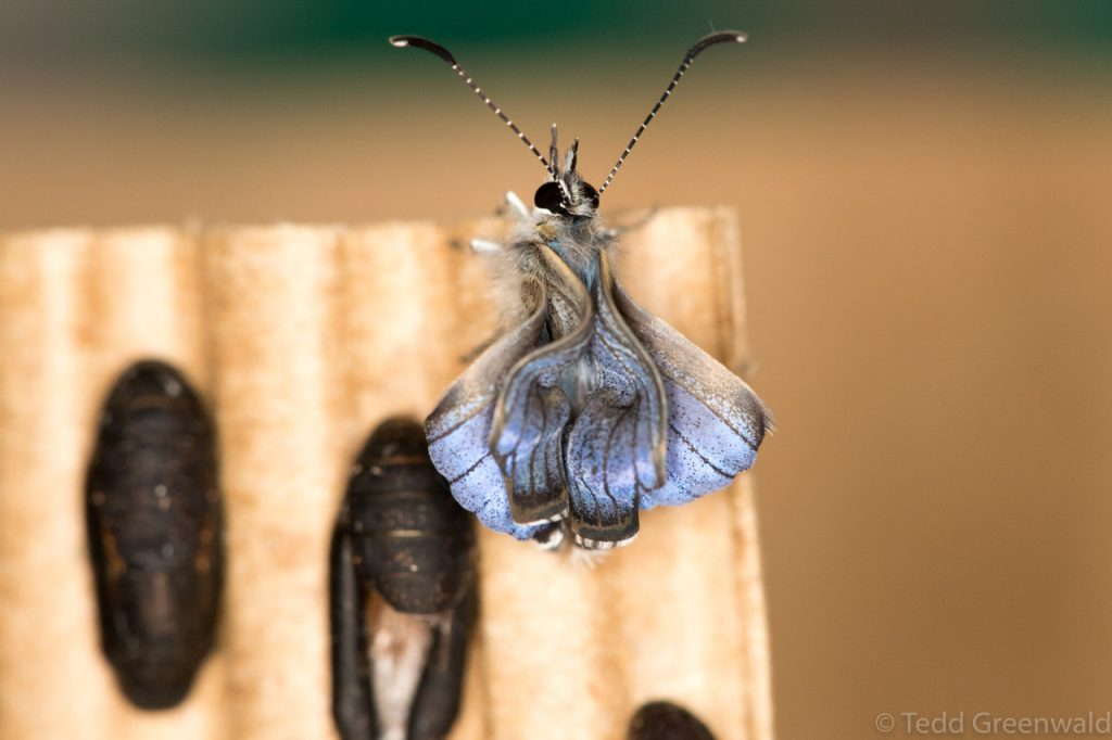 miami blue butterfly emerging