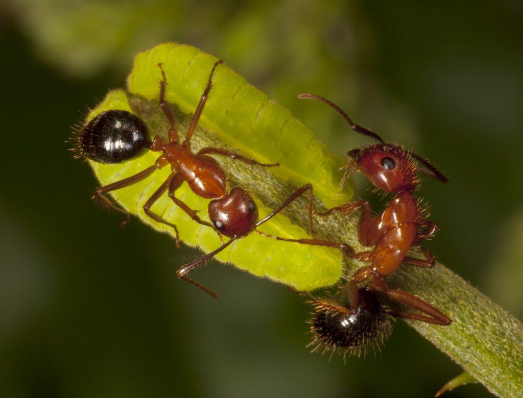 ants tending Miami blue larvae