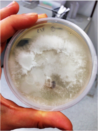 Fungus grows on beef in petri dish