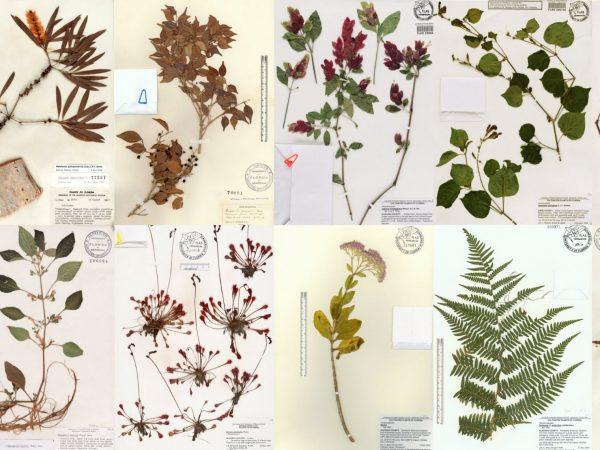 Herbarium specimen sheets