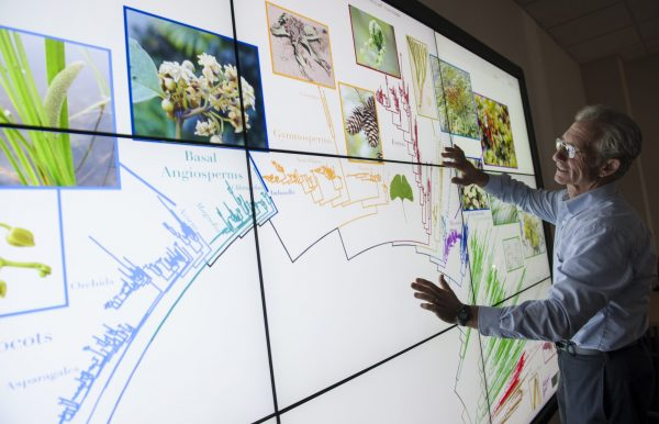 Doug Soltis examines the Tree of Life, a digital map of all named organisms on the planet. Florida Museum of Natural History photo by Kristen Grace