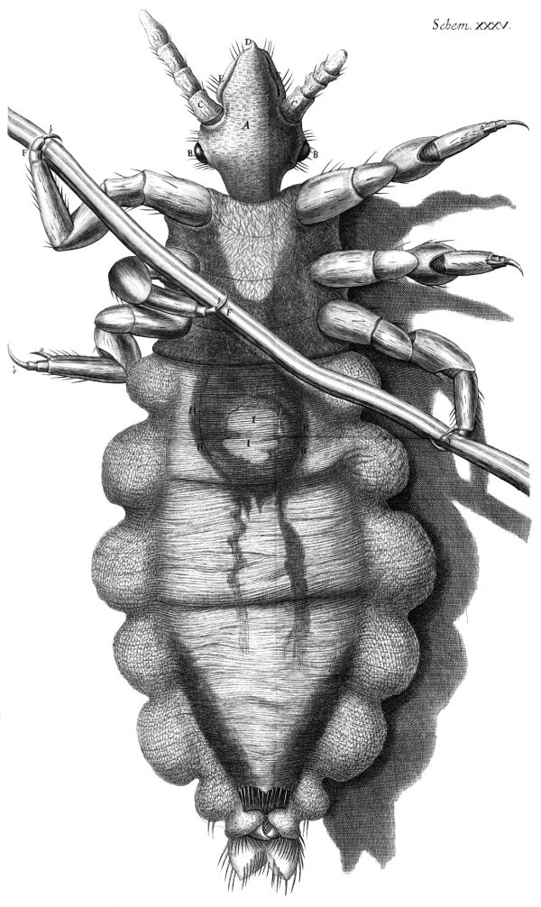 Body louse illustration