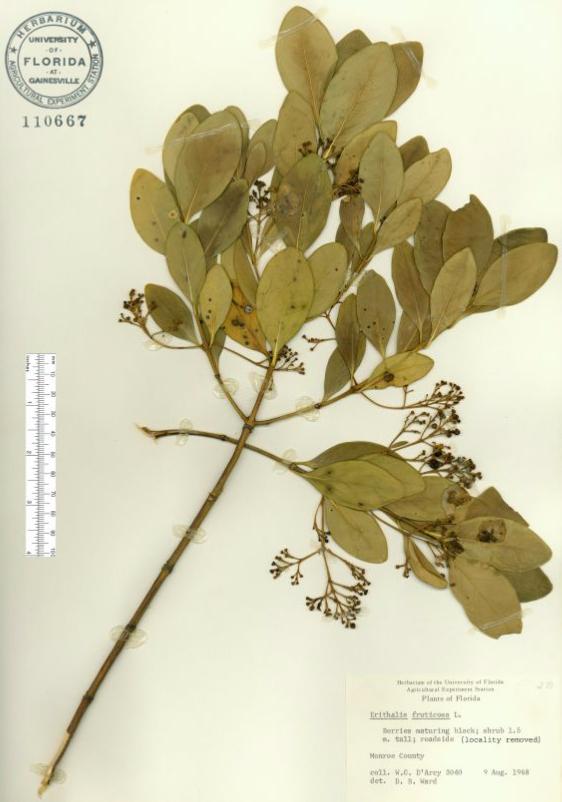 Erithalis fruticosa specimen sheet